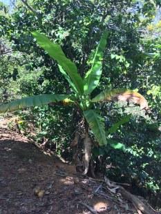 Young banana tree.